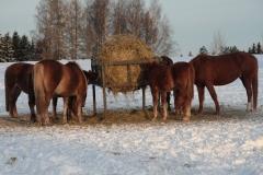 Tammalauma talvella